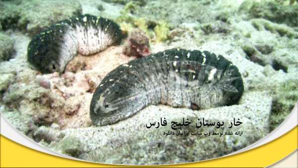 خارپوستان خلیج فارس - دانلود مستند خارپوستان خلیج فارس با لینک مستقیم و به صورت کاملا رایگان